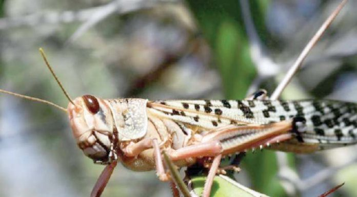 High Alert Issued From Delhi to Karnataka Due to Probable Locust Attacks