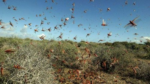 Locust Attacks on Farms
