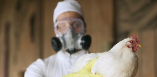Chicken and Poultry Products, Safe For Consumption And Current Scenario Regarding Bird Flu